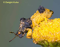 AM01-645z  Ambush Bug, male on tansey flowers, Phymata americana