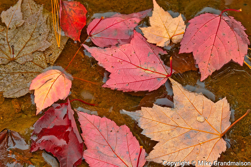 Red maple leaves (Acer rubrum) in autumn<br />Killarney Provincial Park<br />Ontario<br />Canada