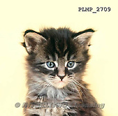 Marek, ANIMALS, REALISTISCHE TIERE, ANIMALES REALISTICOS, cats, photos+++++,PLMP2709,#a#