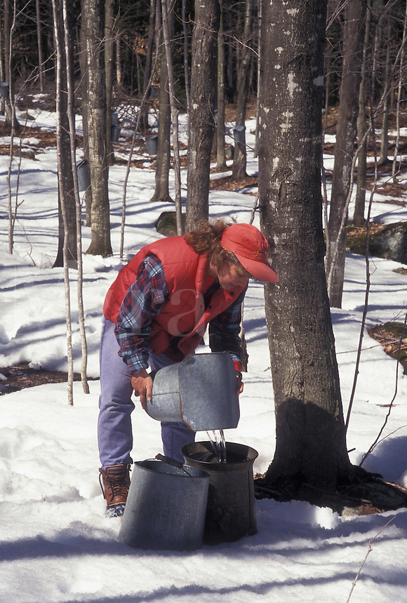 sugaring, Vermont, VT, Woman collecting sap during sugaringtime from maple tree on Carpenter Farm in Cabot in the snow in the early spring.