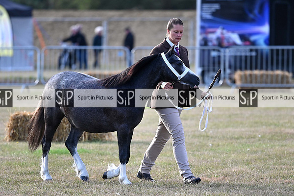 Orsett. United Kingdom. 07 September 2019. Welsh ring. Orsett Horticultural and agricultural show. Essex. UK.~ 07/09/2019.  MANDATORY Credit Garry Bowden/Sport in Pictures - NO UNAUTHORISED USE - 07837 394578