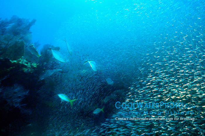 bar jacks, Caranx ruber, .feeding frenzy on bait ball, .Banana Reef, Key Largo, Florida Keys .National Marine Sanctuary (Atlantic)