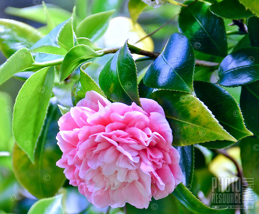 A close-up of a double pink camellia blossom grows on a 6-ft. high bush at a 4,000-ft. elevation in Volcano, island of Hawai'i.