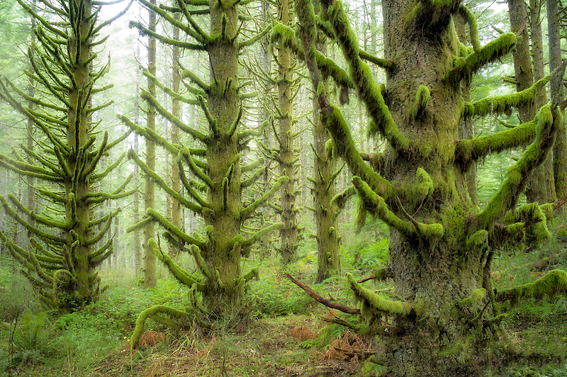 Moss covered Spruce trees. Silver Falls State Park, Oregon