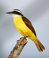 Great kiskadee adult