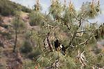 California Condor (Gymnogyps californianus) three year old male in tree, Pinnacles National Park, California