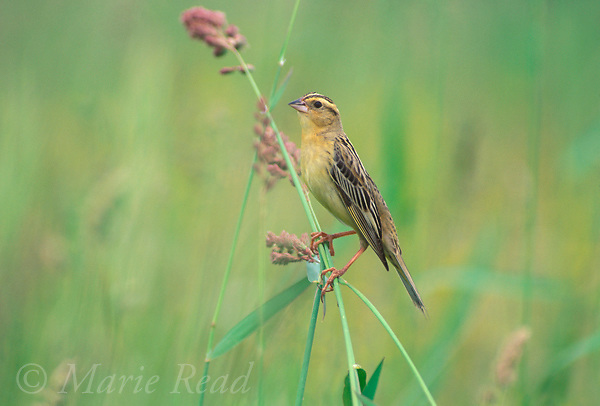 Bobolink (Dolichonyx oryzivorus) adult female perched on grass stem in summer, Ithaca, New York, USA.<br /> Slide # B163-189  R