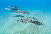 Hawaiian spinner dolphins, long-snouted spinner dolphins or Gray's spinner dolphins, Stenella longirostris longirostris, small pod with calves, Kona Coast, Big Island, Hawaii, USA, Pacific Ocean