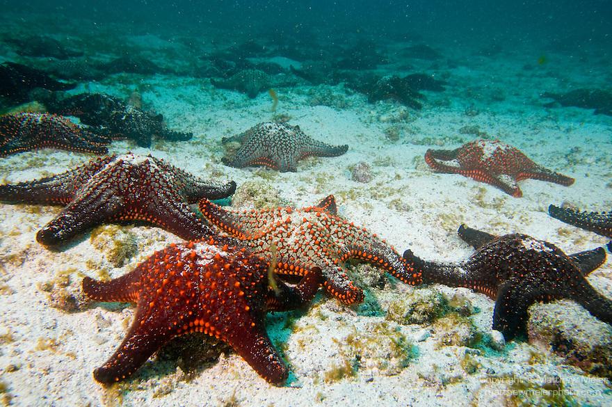 Pinzon Island, Galapagos, Ecuador; a large group of Panamic Cushion Star (Pentaceraster cumingi) sea stars or star fish cover the rocky, sandy bottom , Copyright © Matthew Meier, matthewmeierphoto.com All Rights Reserved