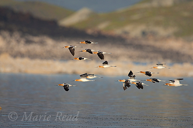 American Avocets (Recurvirostra americana) flock in flight, Mono Lake, California, USA