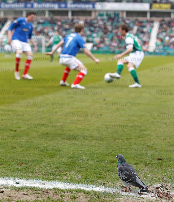 The Rangers pigeon is back from Co-Op Cup Final Day to witness his team sealthe SPL title at Easter Road