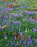 Mount Rainier National Park,  WA<br /> Meadow detail of alpine wildflowers with lupine, magenta paintbrush, lousewort, and bistort on Mazama Ridge`