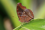 Butterfly; The Chocolate Pansy or Chocolate Soldier, Junonia iphita, Posing Nicely On A Leaf