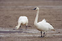Pair of adult Trumpeter Swans (Cygnus buccinator) foraging in an agricultural field. Skagit County, Washington. April.