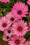 'OSTEOSPERMUM SUNSCAPE DAISY 'CRESCENDO LIGHT PURPLE', AFRICAN DAISY