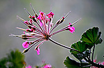 Flores. Gerânio, pelargório ( Pelargonium hortorum). SP. Foto de Manuel Lourenço.