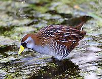 Adult sora in breeding plumage