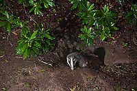 Young badger at the entrance to a sett, Lancashire.