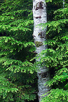 Olympic National Park, Washington.  Evergreen Forest near Heart of the Hills Campground--red alder tree and western hemlock tree boughs.