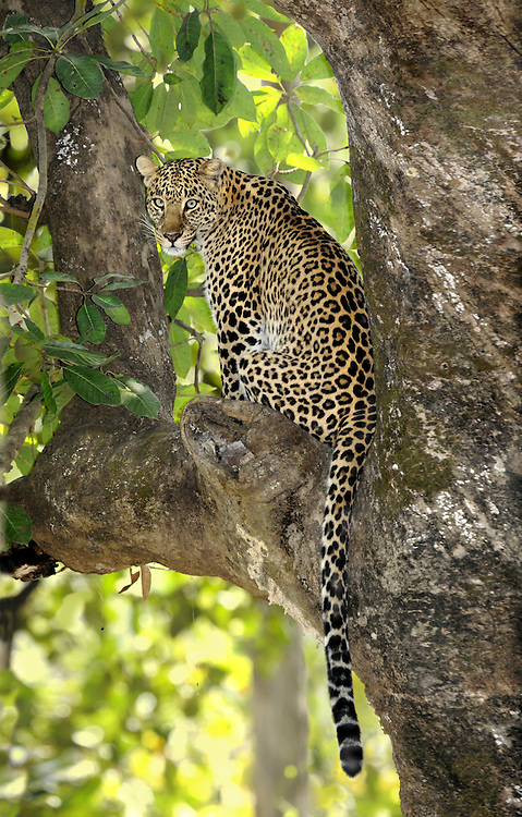 Leopard Panthera pardus Length to 250cm (including roughly 80-100cm tail) Large, mainly noctural and secretive cat. Distinctive spotted coat affords animal good camouflage. Widespread in Africa and warm regions of south Asia.