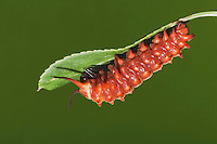 Pipevine Swallowtail (Battus philenor), caterpillar, Sinton, Corpus Christi, Coastal Bend, Texas, USA