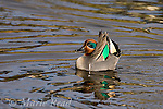 "Green-winged Teal (Anas crecca) male in breeding plumage, performing courtship display (""Head-up, tail-up""), Upper Newport Bay, California, USA"
