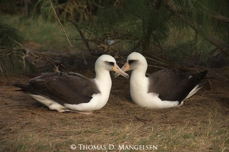 Pair of Laysan Albatross in Hawaii.