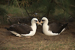 Pair of Laysan Albatross in Hawaii.
