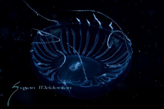 Aequorea sp, juvenile, jellyfish, , over Gulfstream Current,depth 600 ft. Full moon, Super moon, Atlantic Ocean,  Florida ID by Alex Damian Serrano