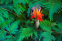 A brilliant red flower amidst ferns in a botanical garden, Hawai'i Island.