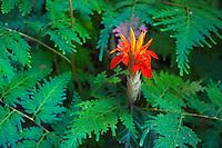 A brilliant red flower amidst ferns in a botanical garden, Hawai'i Island.