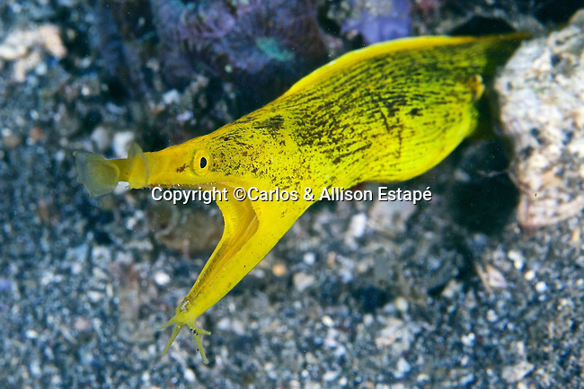 Rhinomuraena quaesita, Blue ribbon eel, Lembeh, Indonesia
