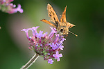 Tiny Butterfly, Skipper, Whirlabout, Polites vibex, On Brazilian Verbena
