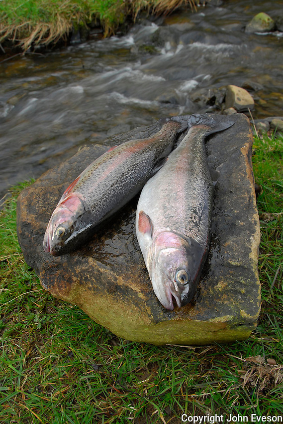 Two Rainbow trout (Oncorhynchus mykissat) at the side of a stream,Whitewell,  Lancashire.