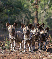I was fortunate to spend time with a pack of wild dogs, including pups, on foot.  Unfortunately, they stuck to some thick bushy areas the entire time, but it was still a fun experience.