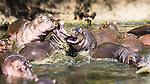 Hippos*