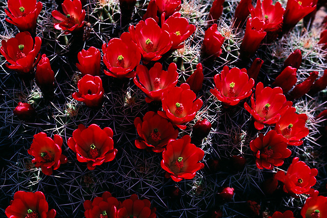 bloom, claret cup cactus, Canyonlands National Park, Utah