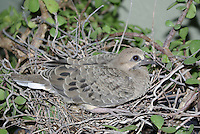 Young Morning Dove seen on the nest made on a plant on a plant shelf in a cool shady patio in  Tucson, Arizona.