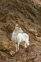 Dall sheep ram on rocky cliff, Denali National Park, Interior, Alaska.
