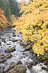 Big leaf maple in fall color along East Fork Lewis River in Clark County, Washington