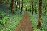 Bluebell woodland, Glen Nant, Argyll & Bute