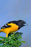 561920073v a wild breeding plumaged male baltimore oriole icterus galbula perches on a small tree on south padre island cameron county texas