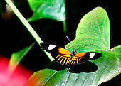 With wings fully spread, this Postman sits on a green leaf showing off his bright gold on black coloring and white bands.