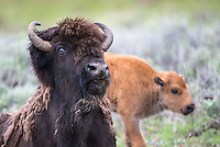 A rowdy bison cow and calf.