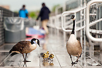 A pair of Canadian geese with three goslings roam the stands prior to a National Women's Soccer League (NWSL) match between the Seattle Reign FC and Sky Blue FC at Yurcak Field in Piscataway, NJ, on May 11, 2013.