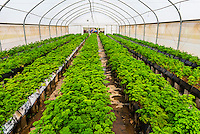 Parsley growing in a greenhouse, Allee Bleue  Wine Estate, Groot Drakenstein, Cape Winelands, near Cape Town, South Africa.