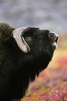 Muskox (Ovibos moschatus) bull smelling (flehmen behavior).  Canadian tundra.  Fall.