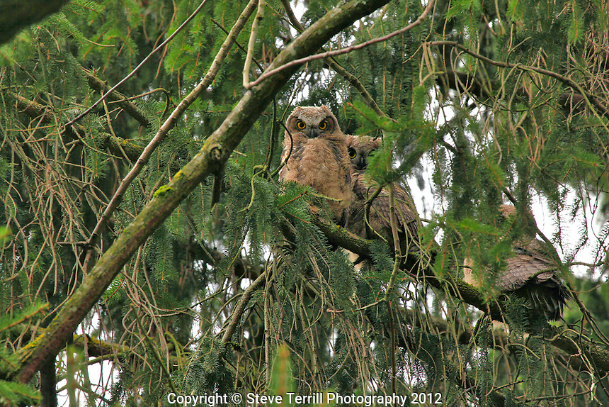 Horned owls at Whitaker Ponds in Portland Oregon