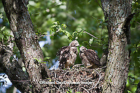 00794-00617 Red-shouldered Hawks (Buteo lineatus) nestlings at nest, Marion Co., IL