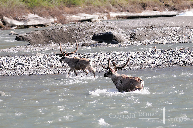 Two caribou cross the Kongakut River, in Alaska's Arctic National Wildlife Refuge.